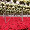 Poinsettias in Weiss Greenhouse
