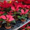 Potted poinsettias