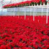 Poinsettias growing in Weiss Greenhouse