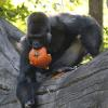 Gorilla carries pumpkin in his mouth
